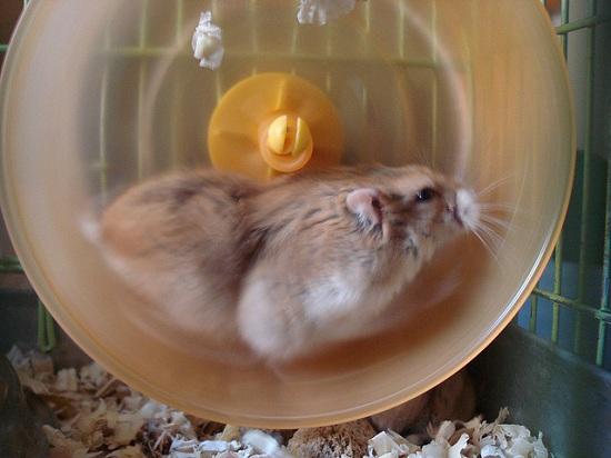 Como un Hamster dando vueltas en la rueda