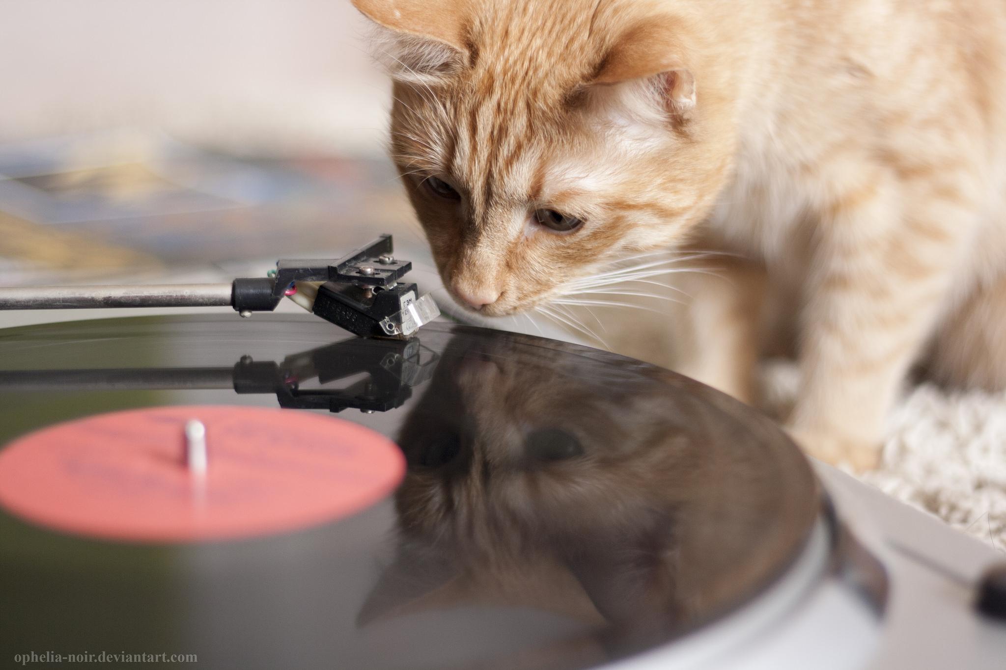Gato musiquero